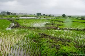 Paddy farms