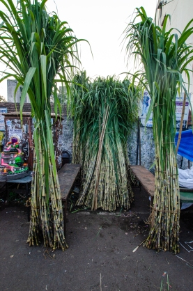 Sugar cane for Laxmi Poojan